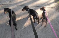 LS_Walking_3_Dachshunds_Aus