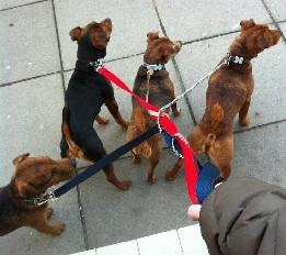 Z_Walking_4_dogs_all_tangled_up