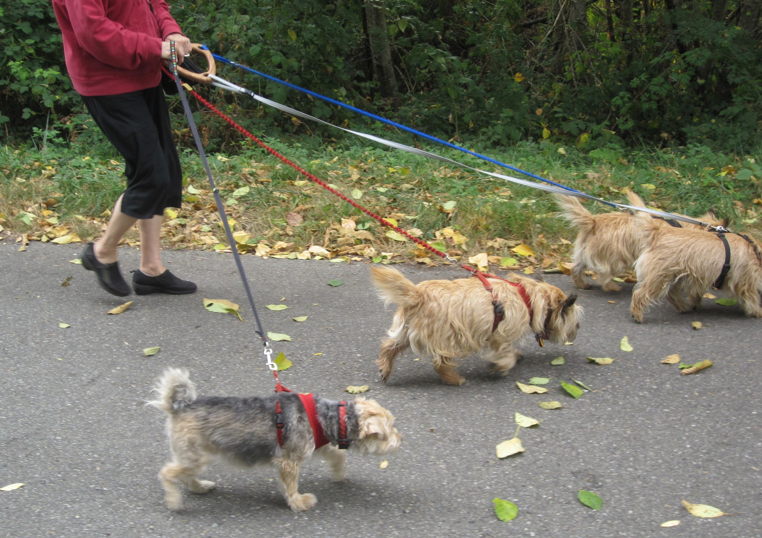 Z_Walking_4_dogs_is_easy