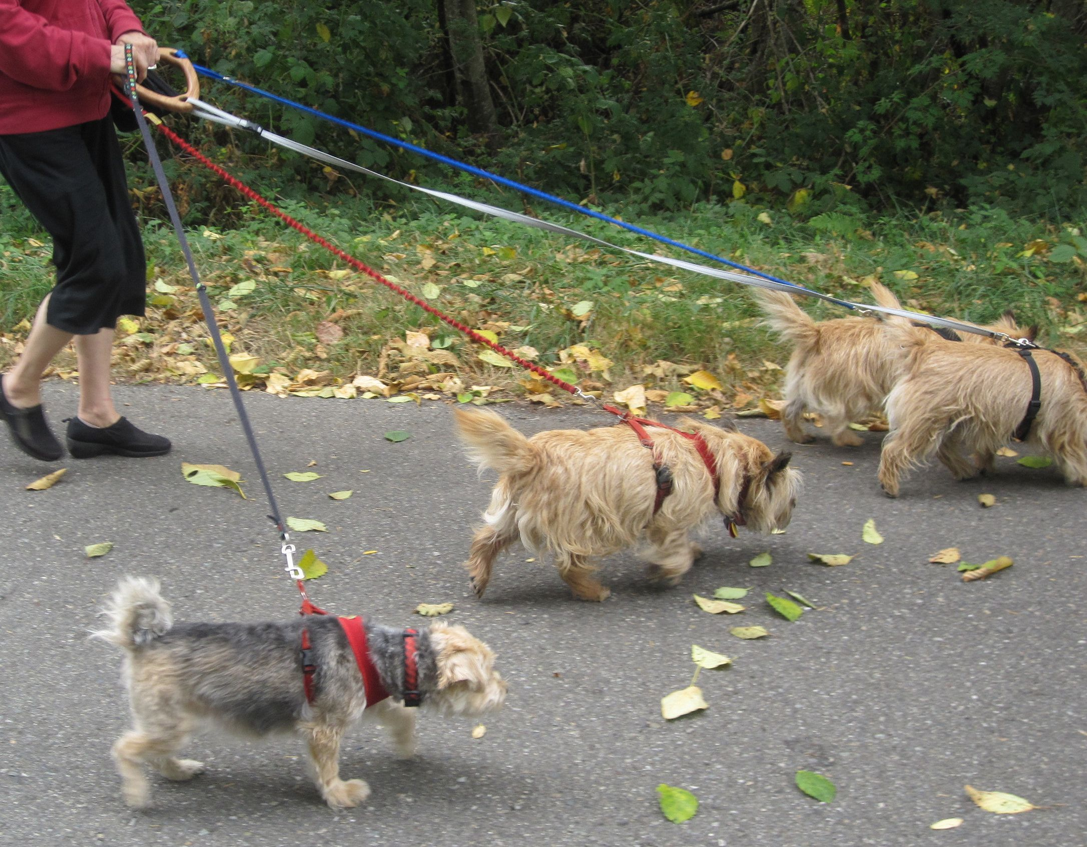 how to walk four dogs on four leashes